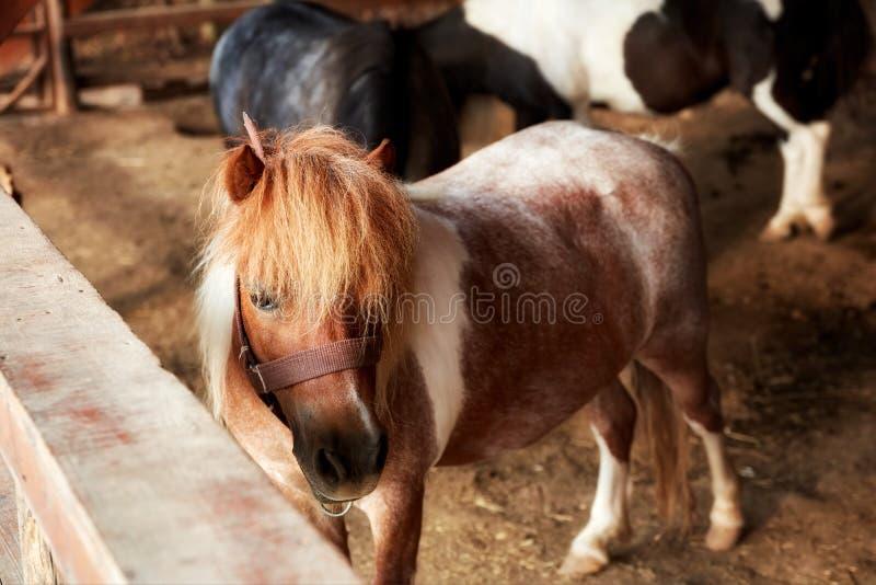 Beau et mignon poney dans la grange images stock