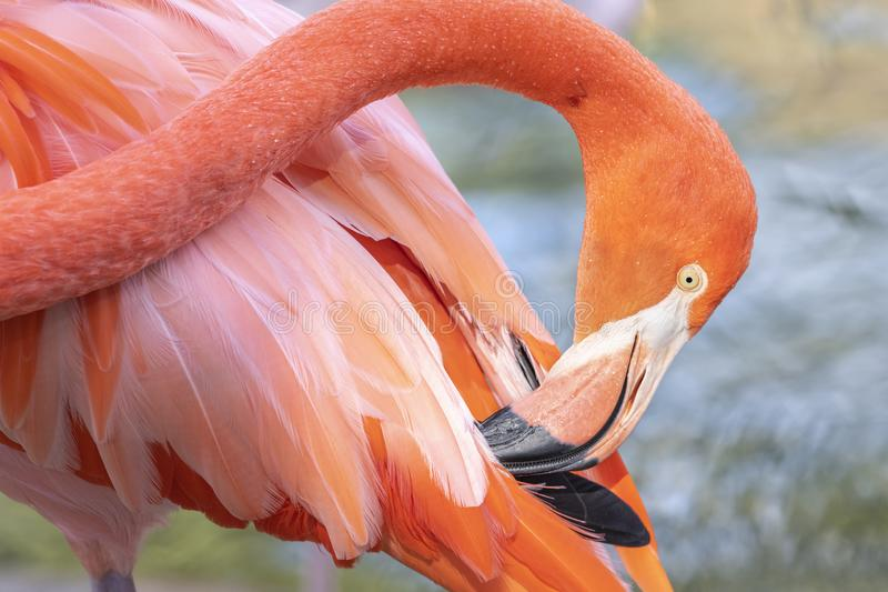 Beau flamant rose photographie stock
