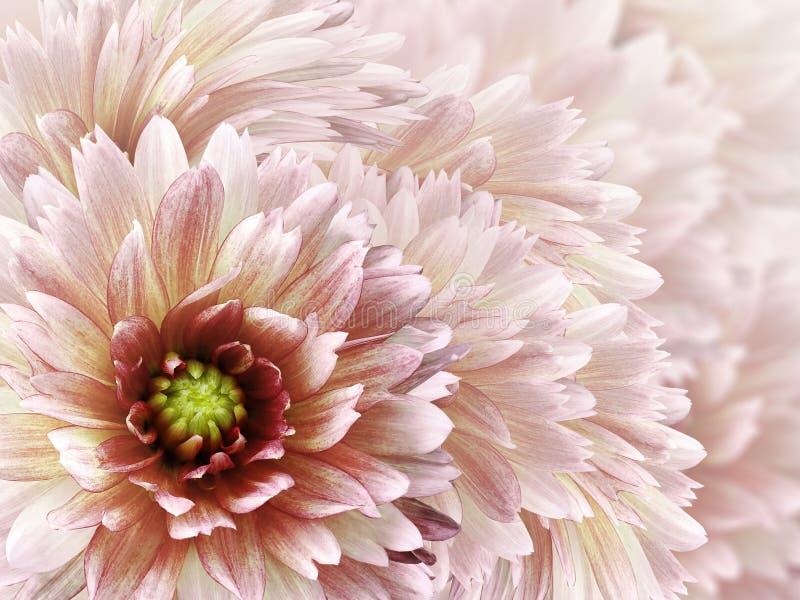 Beau fond blanc-rouge floral Fleurs et p?tales d'un dahlia blanc-rouge Plan rapproch? Composition de fleur Carte de voeux pour image libre de droits