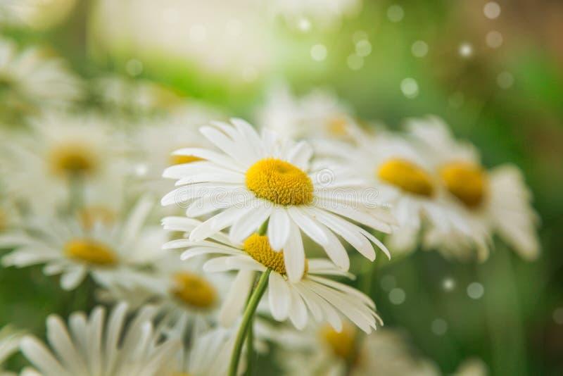 Beau fond d'été Fleurs de camomille image stock