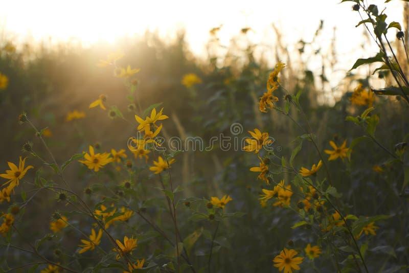 Beau fond d'été ou d'automne plein des fleurs et des fusées jaunes du soleil photographie stock
