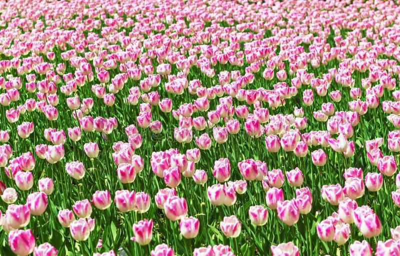 Beau fond de fleur Vue étonnante des tulipes blanches lumineuses fleurissant dans le jardin au milieu de la journée de printemps  image stock