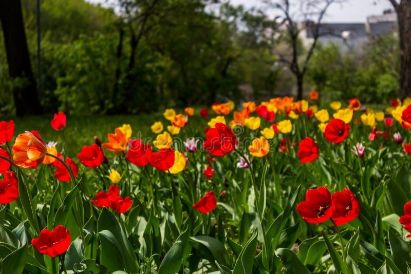 Beau fond de fleurs de tulipes Fond floral de source Champ des tulipes en fleur un après-midi chaud et ensoleillé de ressort photos stock