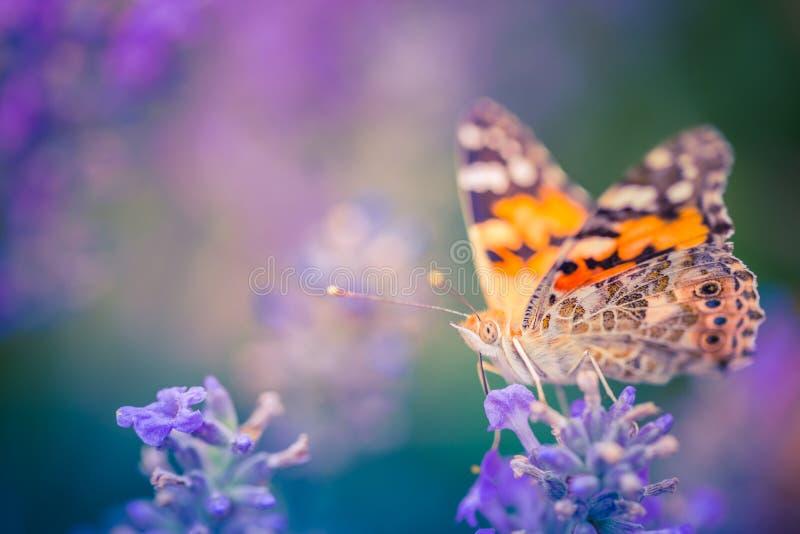 Beau fond de nature, papillon sur des fleurs de lavande d'été, vue artistique de nature photographie stock