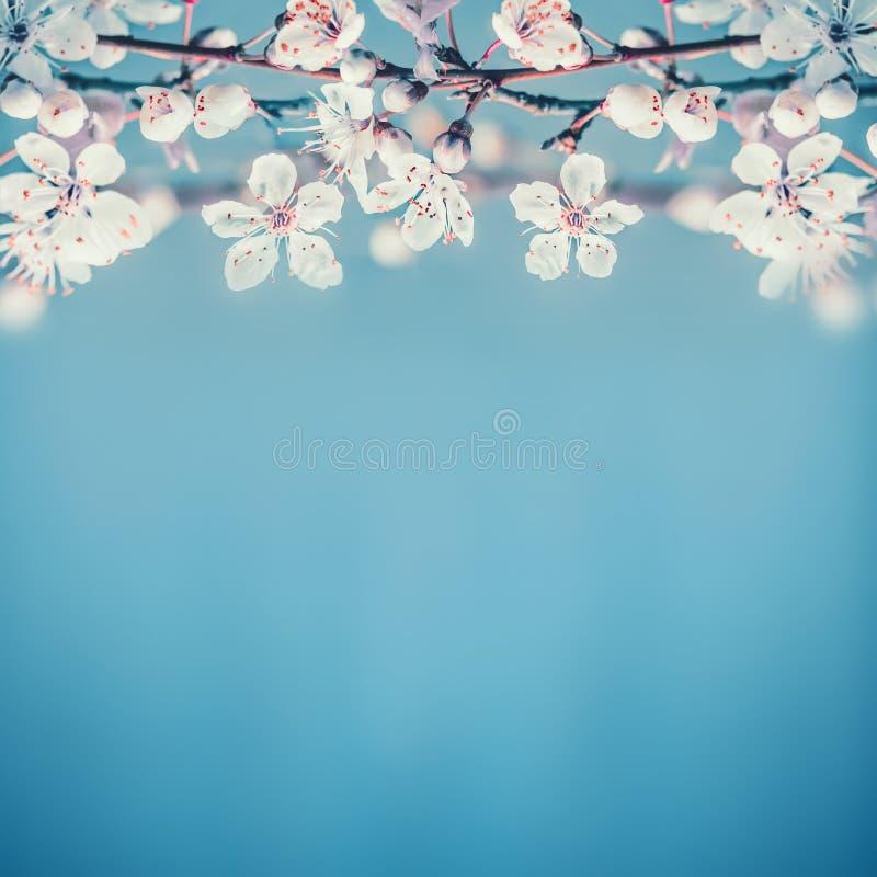 Beau fond de nature de ressort avec les fleurs de cerisier blanches sur le bleu de turquoise image stock
