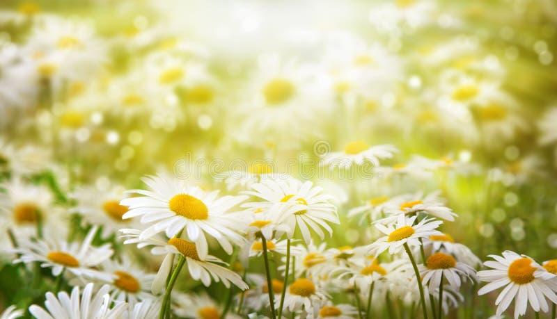 Beau fond Des fleurs de camomille sont allumées par le soleil photos stock
