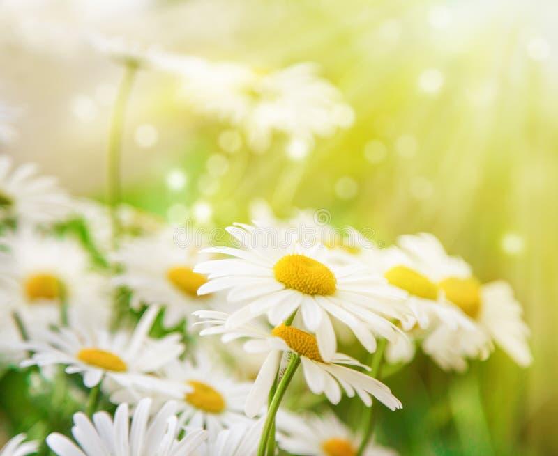 Beau fond Des fleurs de camomille sont allumées par le soleil images libres de droits
