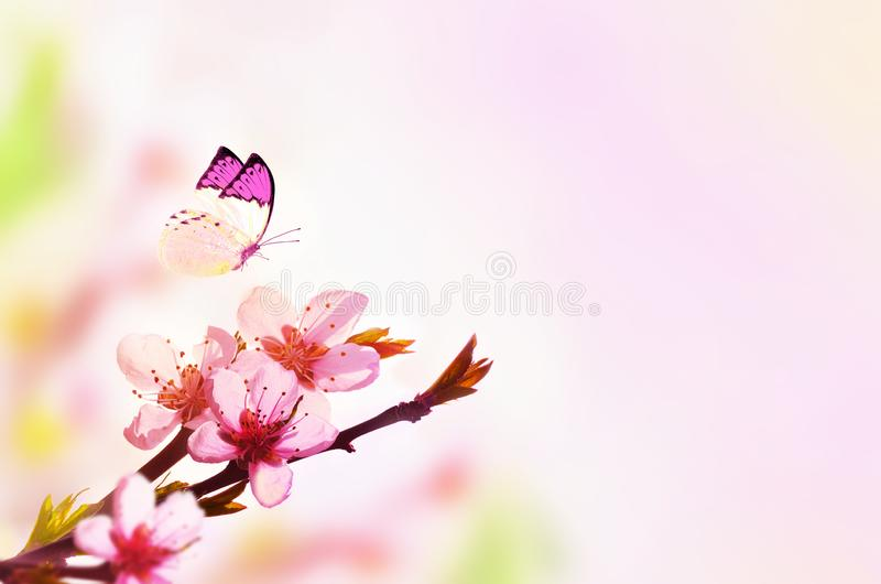 Beau fond floral d'abrégé sur ressort de nature et de papillon Branche de pêche de floraison sur le fond rose-clair de ciel pour image stock