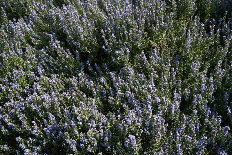 Beau fond floral d'abrégé sur ressort, extérieur Fleurs de pourpre de ressort photo stock