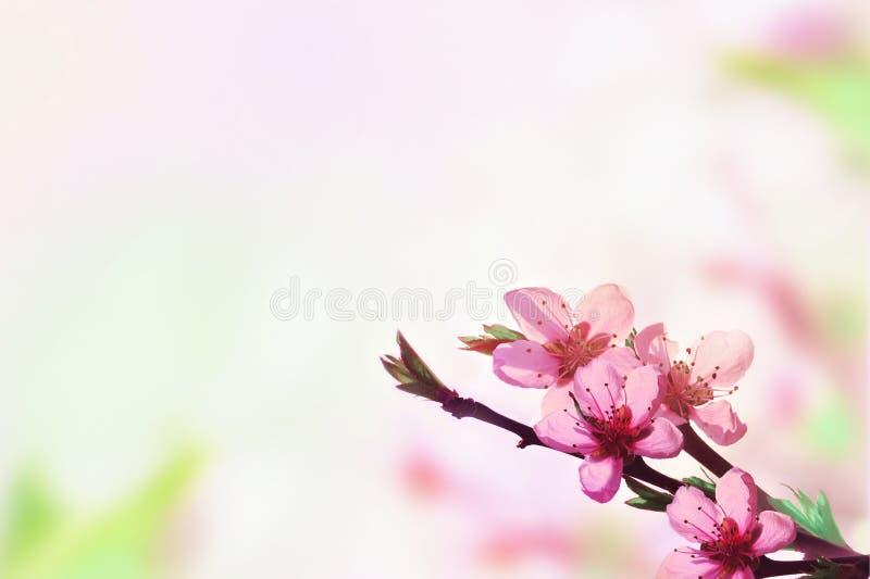 Beau fond floral d'abr?g? sur ressort de nature Branche de p?che de floraison sur le fond rose-clair de ciel E image libre de droits