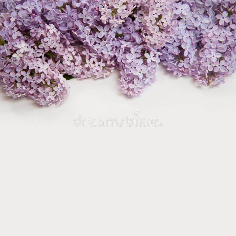 Beau fond lilas Photo de plan rapproché d'isolement sur le fond blanc photos libres de droits