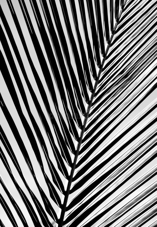 Beau fond noir et blanc de feuille de palmier illustration stock
