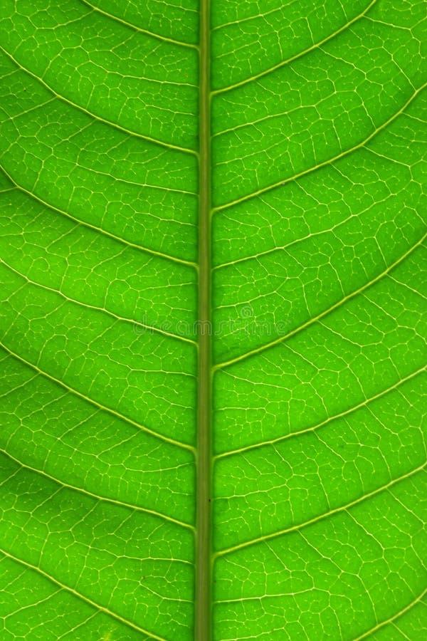 Beau fond-plan rapproché de texture de feuille de mangue photographie stock
