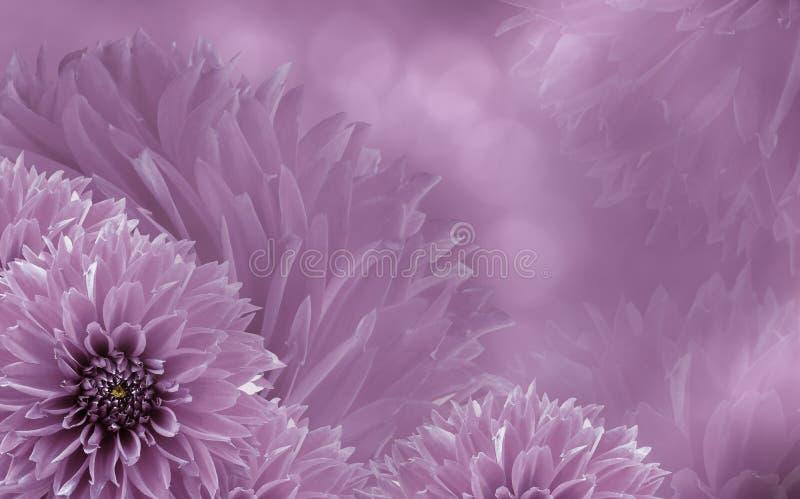 Beau fond rose-clair floral des dahlias Composition de fleur Fond des dahlias roses photographie stock libre de droits