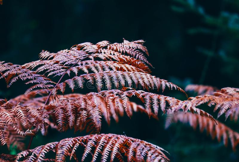 Beau fond rouge coloré de buisson de fougère d'automne, macro vue photographie stock