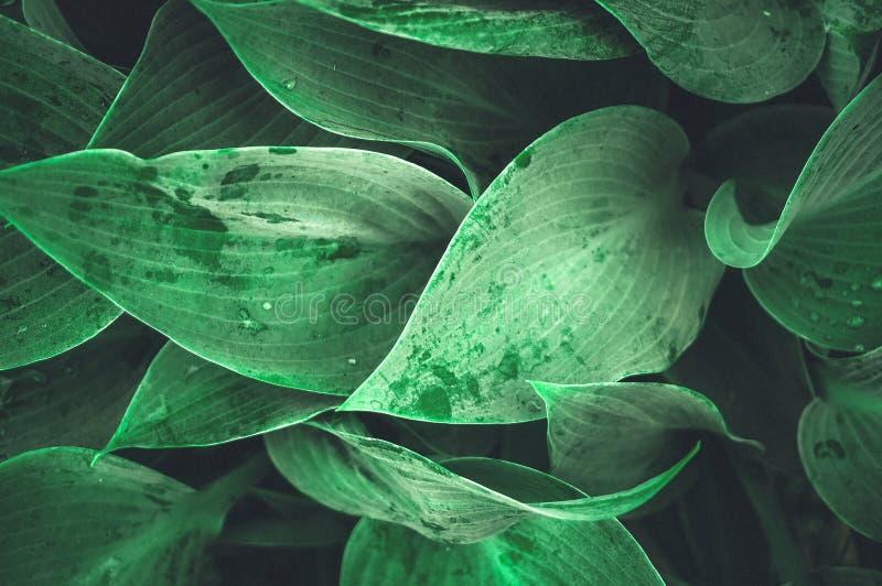 Beau fond végétal des feuilles du Hosta après une pluie wallpaper photo stock