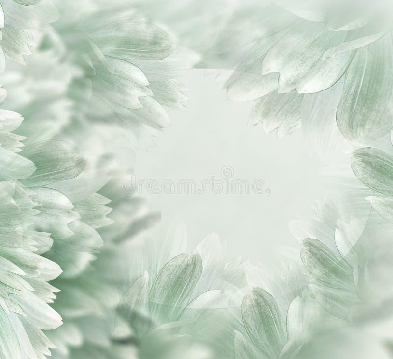 Beau fond vert clair floral Fleurs et p?tales d'un dahlia blanc-rouge Plan rapproch? Composition de fleur Carte de voeux FO images stock