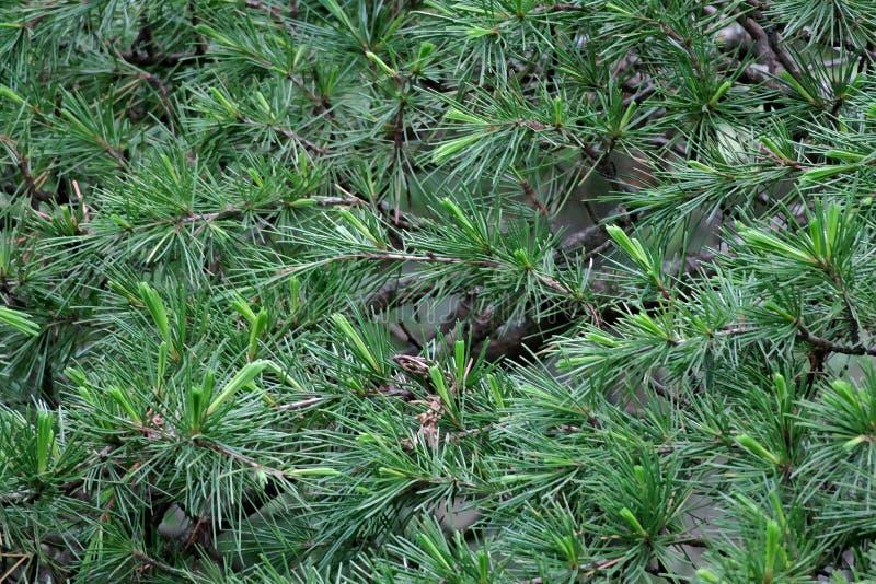 Beau fond vert des branches du plan rapproché d'aiguilles de pin images stock