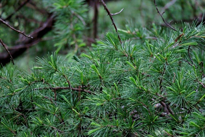 Beau fond vert des branches du plan rapproché d'aiguilles de pin photographie stock libre de droits