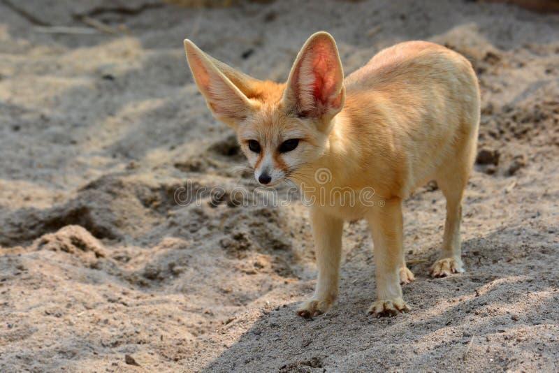 Beau Fox de Fennec photographie stock