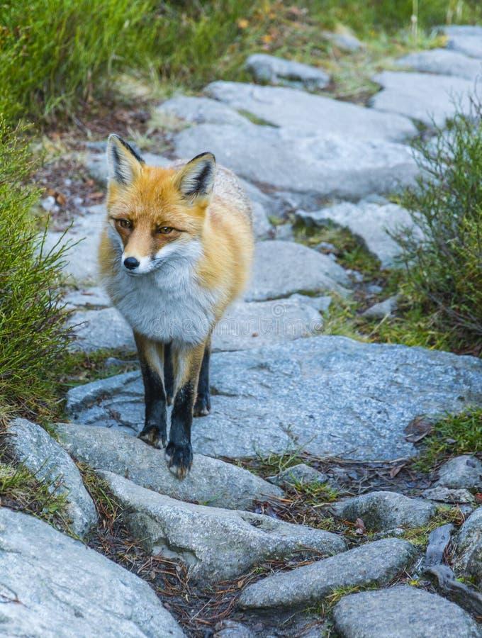 Beau Fox rouge image libre de droits