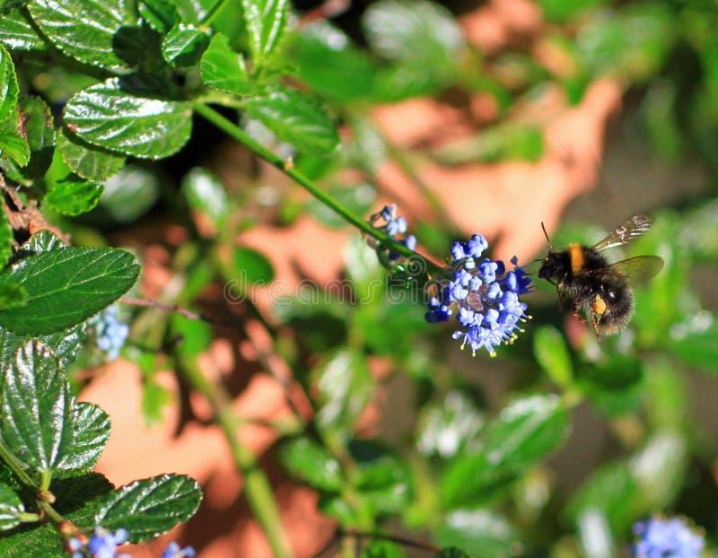 Beau gaffez l'abeille en vol à côté d'une fleur pourpre de verveine images libres de droits