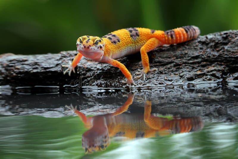 Beau gecko de léopard par réflexion image stock