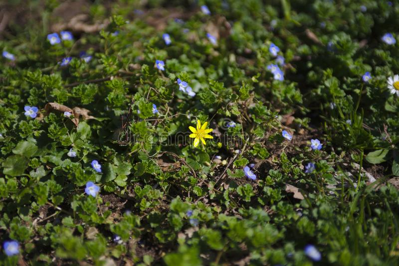 Beau gisement de fleur dans la forêt en bois noire photographie stock