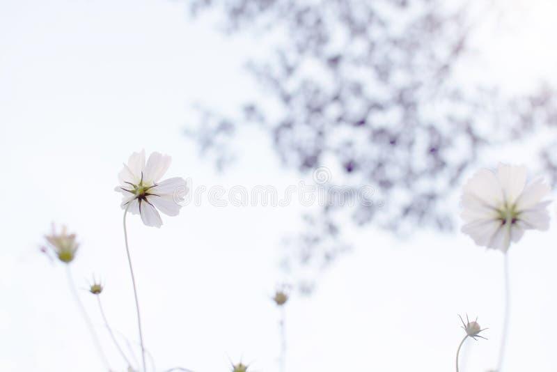 Beau gisement de fleurs blanc de Bipinnatus de cosmos de cosmos au foyer mou au parc avec la couronne brouillée de l'arbre avec l photos libres de droits