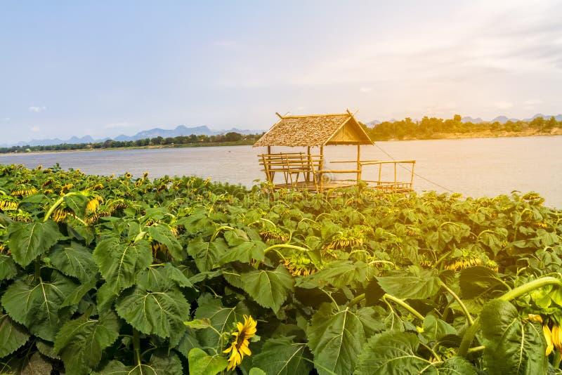 Beau gisement de tournesol avec le cottage en bois près du Mekong photographie stock