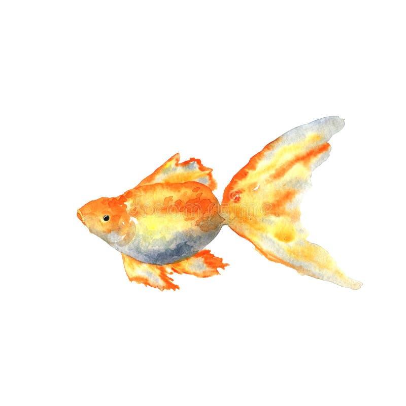 Beau Goldfish Illustration tir?e par la main d'aquarelle D'isolement sur le fond blanc illustration libre de droits
