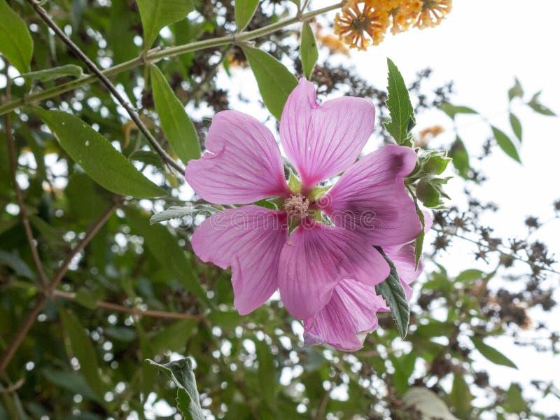 Beau grand chef de fleur étroit haut d'usine de mauve commune photo libre de droits