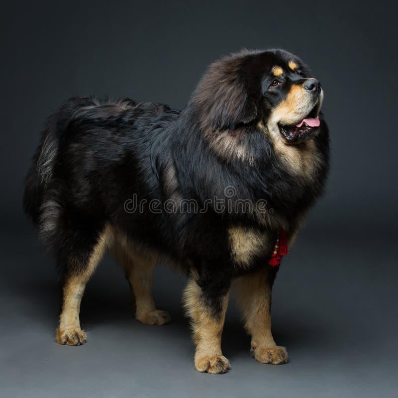 Beau grand chien de mastiff tibétain images stock