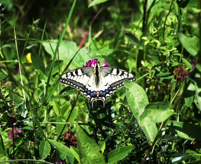 Beau grand papillon parmi les verts image libre de droits