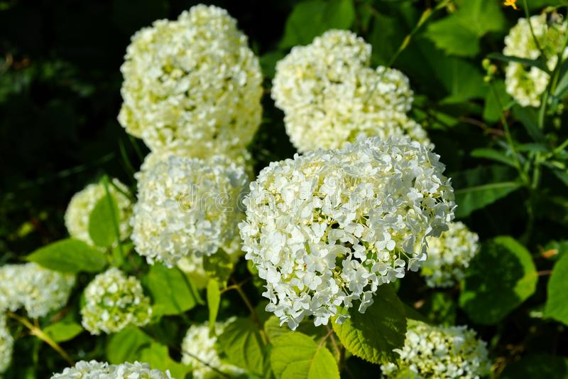 Beau grand plan rapproché blanc de fleurs de paniculata d'hortensia photographie stock libre de droits