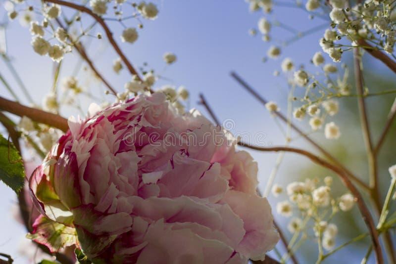 Beau grand plan rapproch? de roses sur un fond brouill? image libre de droits