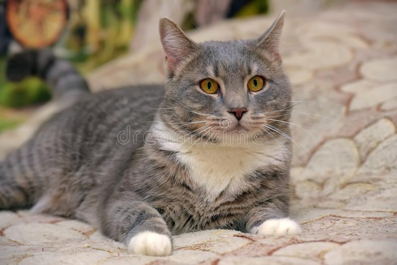 Beau gris avec le grand chat domestique blanc photographie stock
