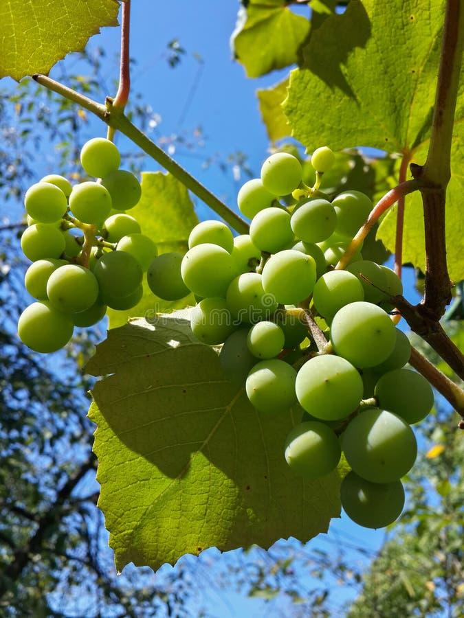 Download Beau Groupe De Raisins Verts Savoureux Image stock - Image du arbres, nourriture: 76086897
