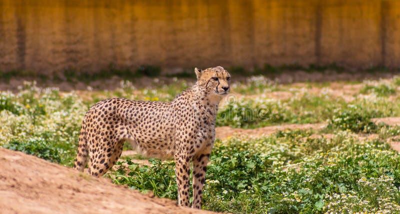 Beau guépard dans le zoo d'Attique image stock