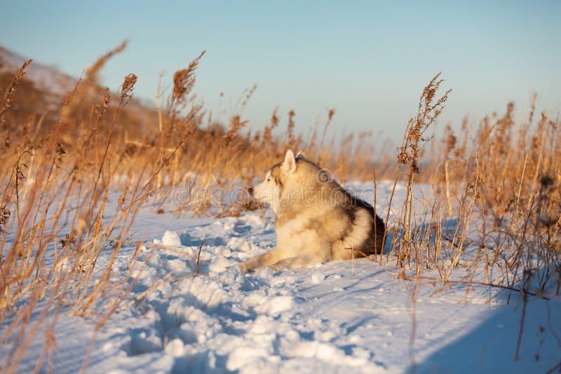 Beau, heureux et libre chien enrou? sib?rien se trouvant sur la colline dans l'herbe d?fra?chie au coucher du soleil photographie stock