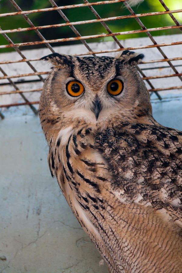 Beau hibou photo stock