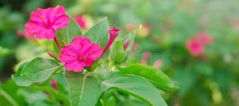Beau jalapa rose de Mirabilis de fleurs se développer dans le jardin un jour ensoleillé papier peint normal Beau fond pour la con image libre de droits