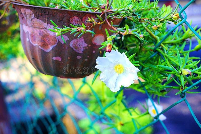Beau Japonais blanc Rose By The Gate image libre de droits