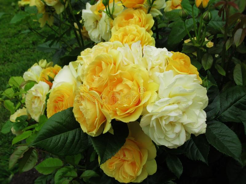 Beau jardin jaune lumineux 2019 de Rose Flowers Blossom In Park photo stock