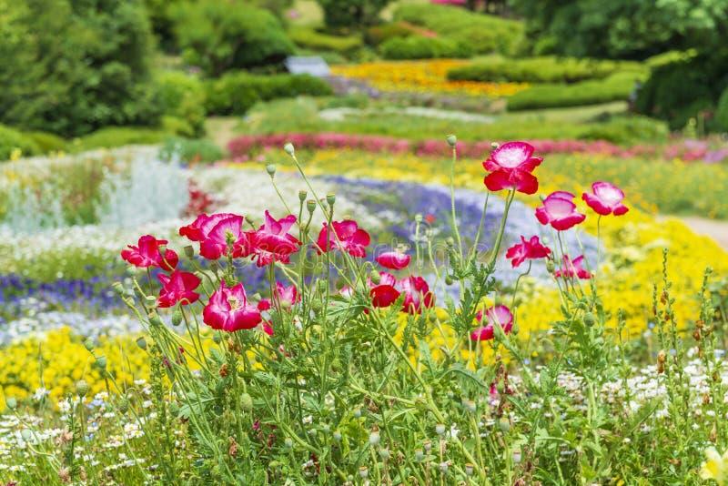 Beau jardin rouge de fleurs de pavot au printemps photo stock