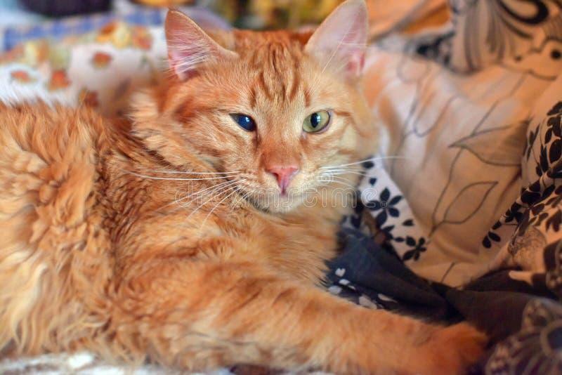 Beau jeune chat rouge avec une défaite d'oeil de la cornée directe images stock