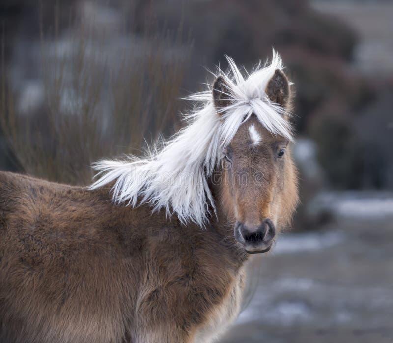 Beau jeune cheval regardant la caméra image libre de droits