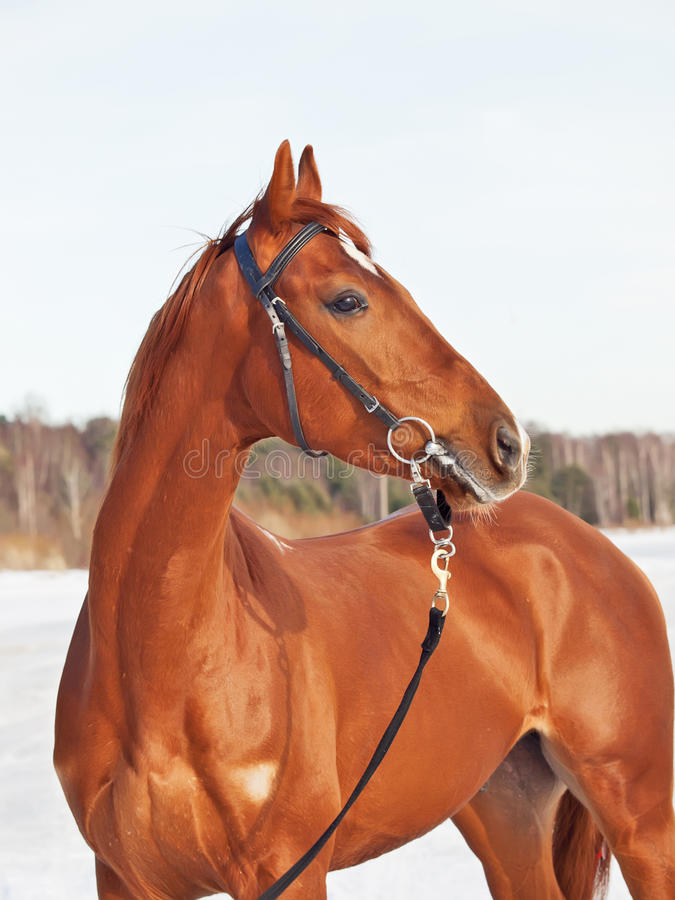 Beau jeune cheval rouge dans le golfe de neige photos libres de droits