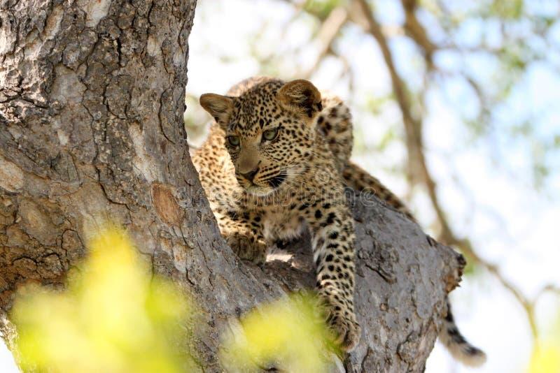 Beau jeune léopard dans l'arbre dans le safari de l'Afrique du Sud sur une commande de jeu images stock