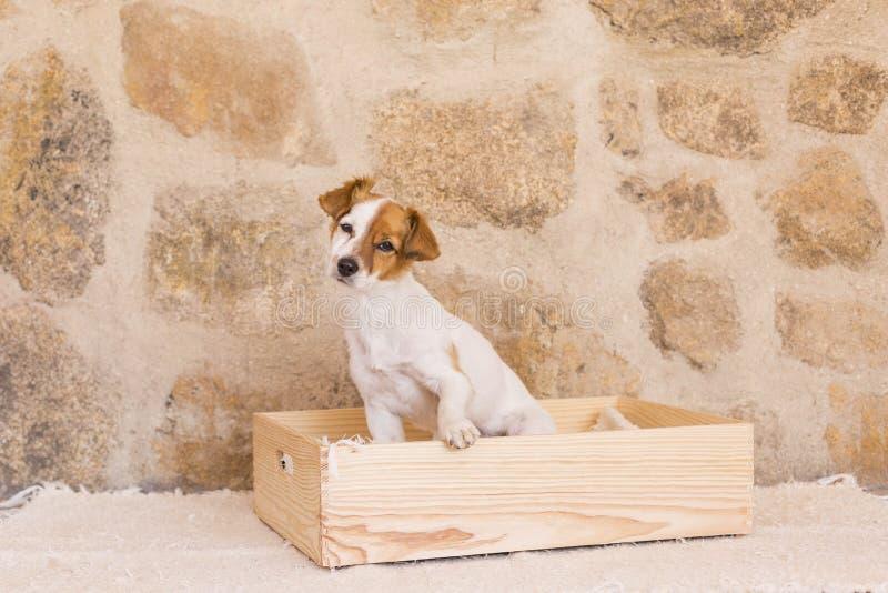 Beau jeune petit chien mignon se reposant dans une boîte et un lookin en bois photo libre de droits